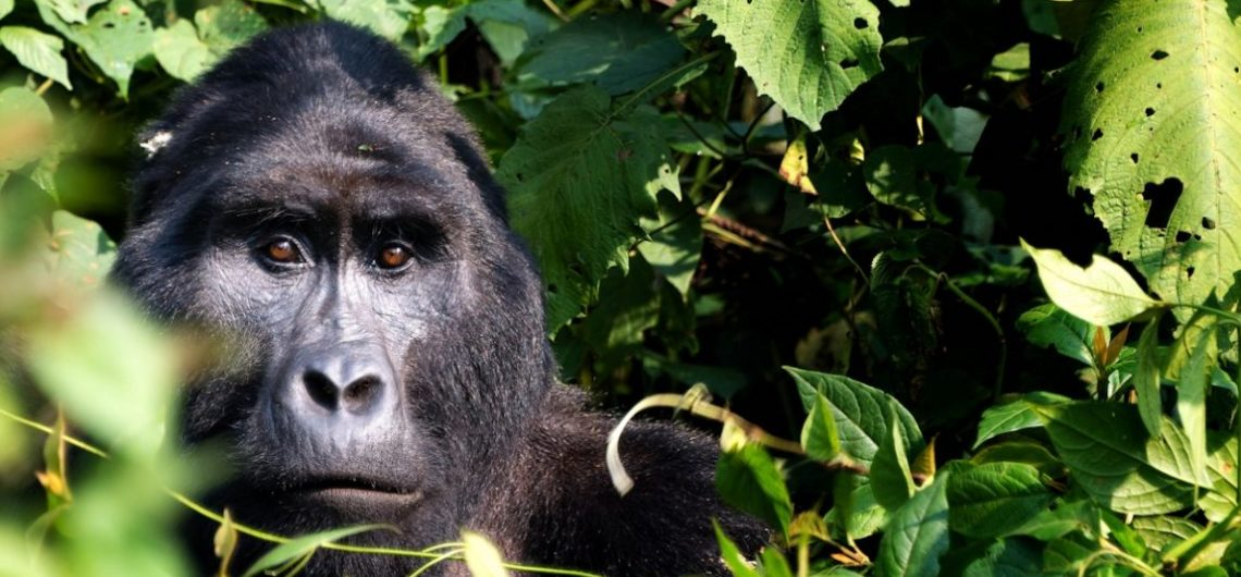 Bwindi-mountain-gorilla-tour