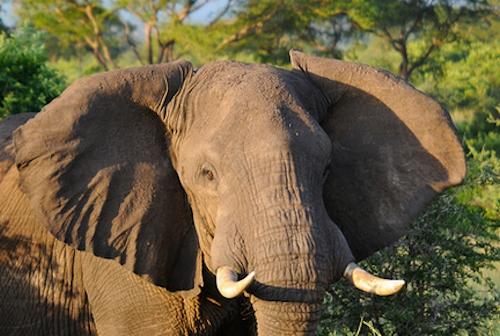 Elephant-Murchison-Falls-Uganda