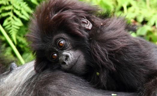 Gorilla-watching-tour-Rwanda