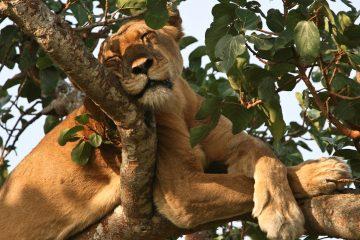 Ishasha-tree-climbing-lions-Uganda