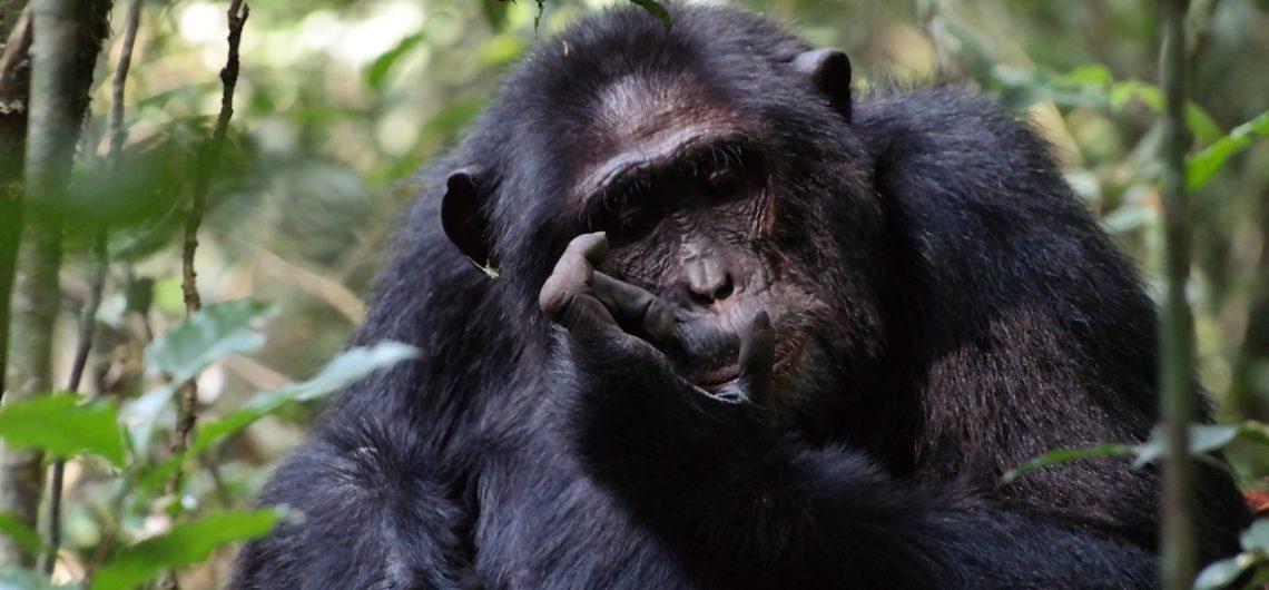 Kibale-Chimpanzee-tracking-Uganda