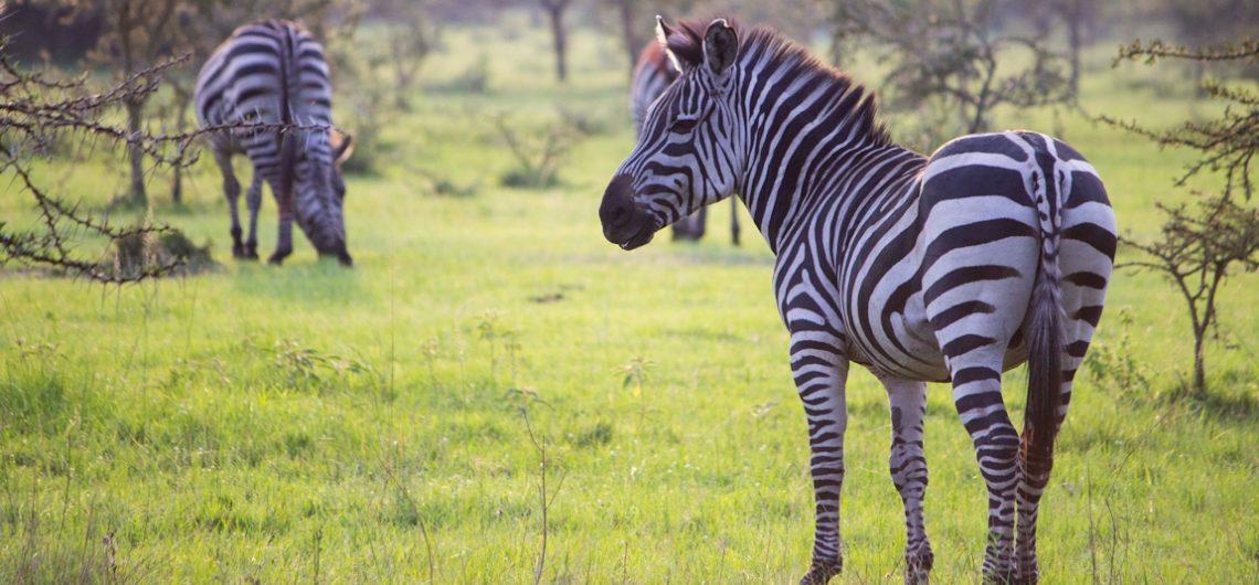 Lake-Mburo-National-Park-Zebras