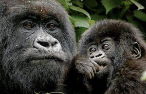 Rwanda-Gorilla-Trek