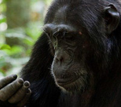 chimpanzee-tracking-kibale-Uganda