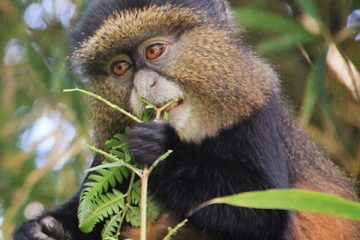 golden-monkeys-rwanda-trek