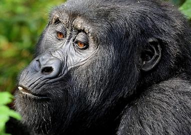 gorillasw