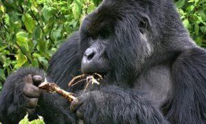silverback-gorillas-Rwanda