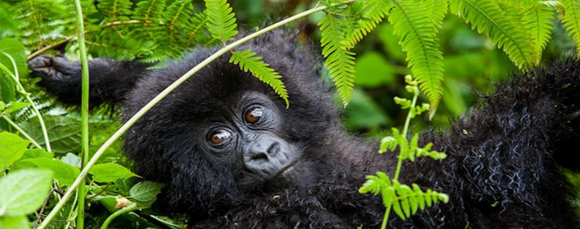 Gorilla-tours