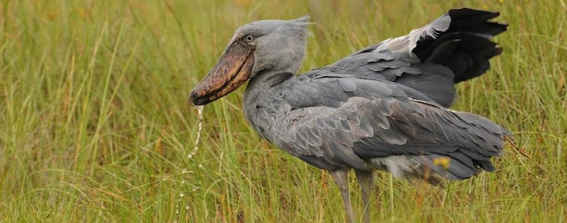shoebill-stork-birding-uganda