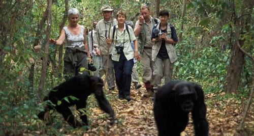 chimpanzee-tracking-Gishwati-Mukura-Rwanda